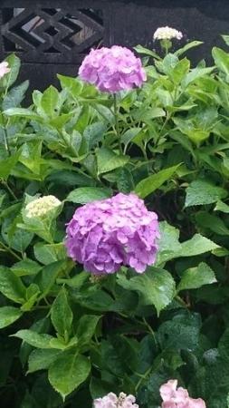 庭の紫陽花★